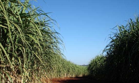 Estudo revela percepções sobre o cultivo da cana em municípios brasileiros